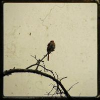 Female Cardinal after the rain by moxylyn