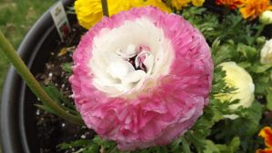 White Pink Ranunculus by mc1964