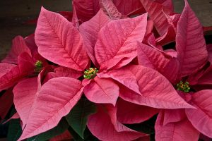 Poinsettias by muffet1
