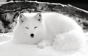 Arctic Fox 001 by PMcKerry
