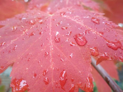 Very Red Maple Leaf by spiffwalker