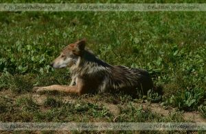 Mexican Wolf by FicktionPhotography