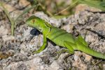 Another young iguana by CyclicalCore