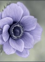Anemone III by Audhild