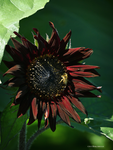 Deep red sunflower by Mogrianne