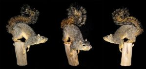 Fox Squirrel on Post by rcahern
