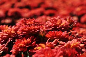 Patch of Red Flowers by ladybug95