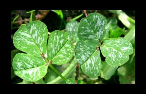 Spotted Clovers by VioletRosePetals