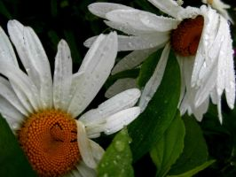 two daisies in the rain by April-Mo