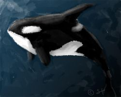 Orca by shayfifearts