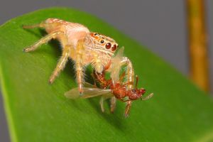 jumping spider eating lunch by troypiggo