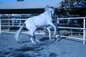 gray horse stock 14 by xbr0kendevotion