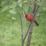 Cardinal - IMG 3345 - Version 2 by organblower