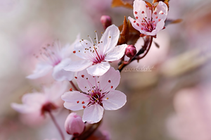 Cherry Blossom Spring. by dragonfly-oli