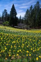 Daffodil Hill, CA by StephGabler