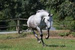 Beautiful Dappled Grey Mare on Paddock 46 by LuDa-Stock