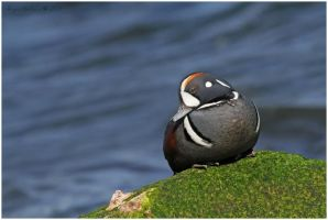 Harlequin Duck by Ryser915