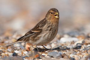 Born to suck seed (succeed) - Twite by Jamie-MacArthur