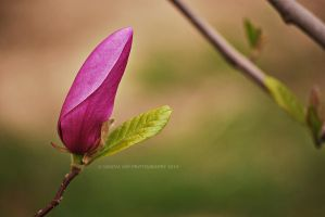Magnolia Beginnings by Simina31
