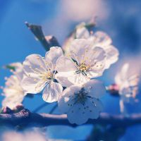 Cherry blossoms by Alyss6