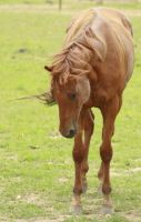 Polo Pony - 13 by Loosends-Stock