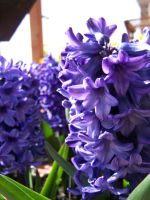 Purple and Blue by theNanna