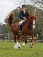 Welsh Cob Dressage 2 by Sooty-Bunnie