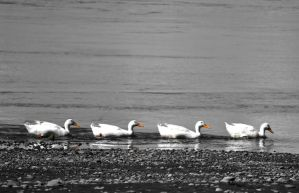 Got My Ducks In A Row by jojo22