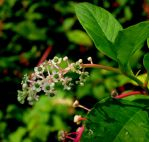 POKEMO....POKEWEED...PORKWEED? by Sugaree33-Art