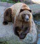 Grizzly Lounging by sequential