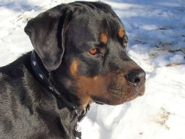 My Handsome Rottie in the Snow by I-Heart-Photos