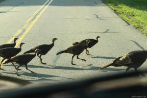 Young wild Turkeys by natureguy