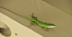Anole on The Wall by roamingtigress