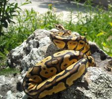Ball Python: Allegro 2 by zilowar