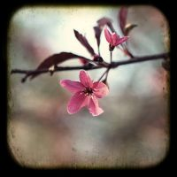 Blossom by Chansie