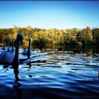 Swans Coming for a Look by Wild-Theory
