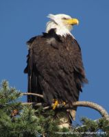 Bald Eagle in the Wind by vanwaglajam