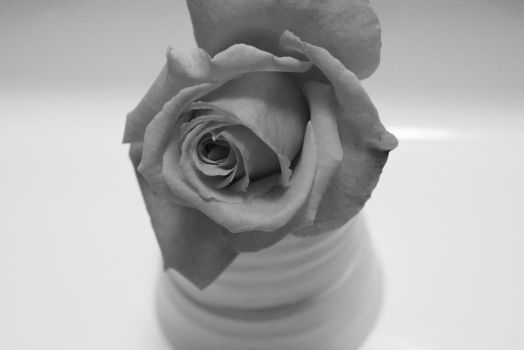 black and white rose by hkiwi1846