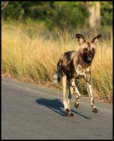 Wild Dog by the Roadside by mikewilson83