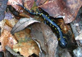 Spotted Salamander by NycterisA