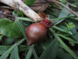 Little Onion on the Ground by Toderico