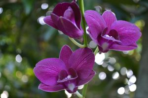 Orchids1 by Sakura060277