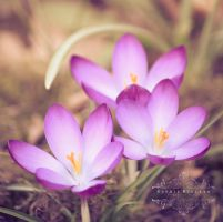 Crocuses by Sophie-Wieland