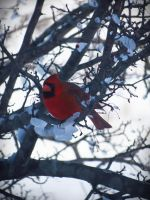 Cardinal by evelynrosalia