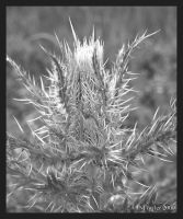 Thistle BW by texasghost