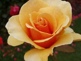 .stock: yellow rose up close. by guavon-stock