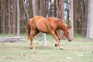 Dn Warmblood chestnut side view head lowered by Chunga-Stock