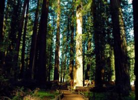 Redwoods by Snappy-Cat-Images