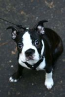 my boston terrier by downtempomusic