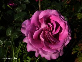 Pink Rose by rembrantt